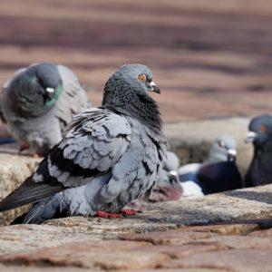 Controle de Pombos em Campinas